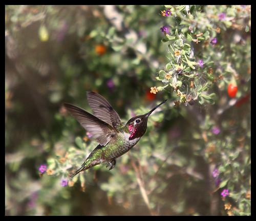 Hummingbird - 4925
