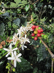 coffee cherrie and blossoms