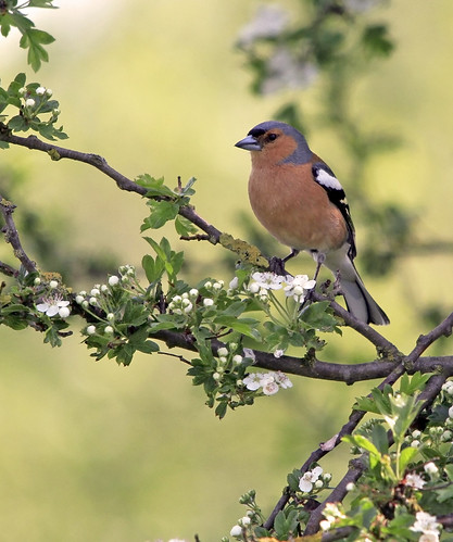 Chaffinch Poseing by Lynngerald