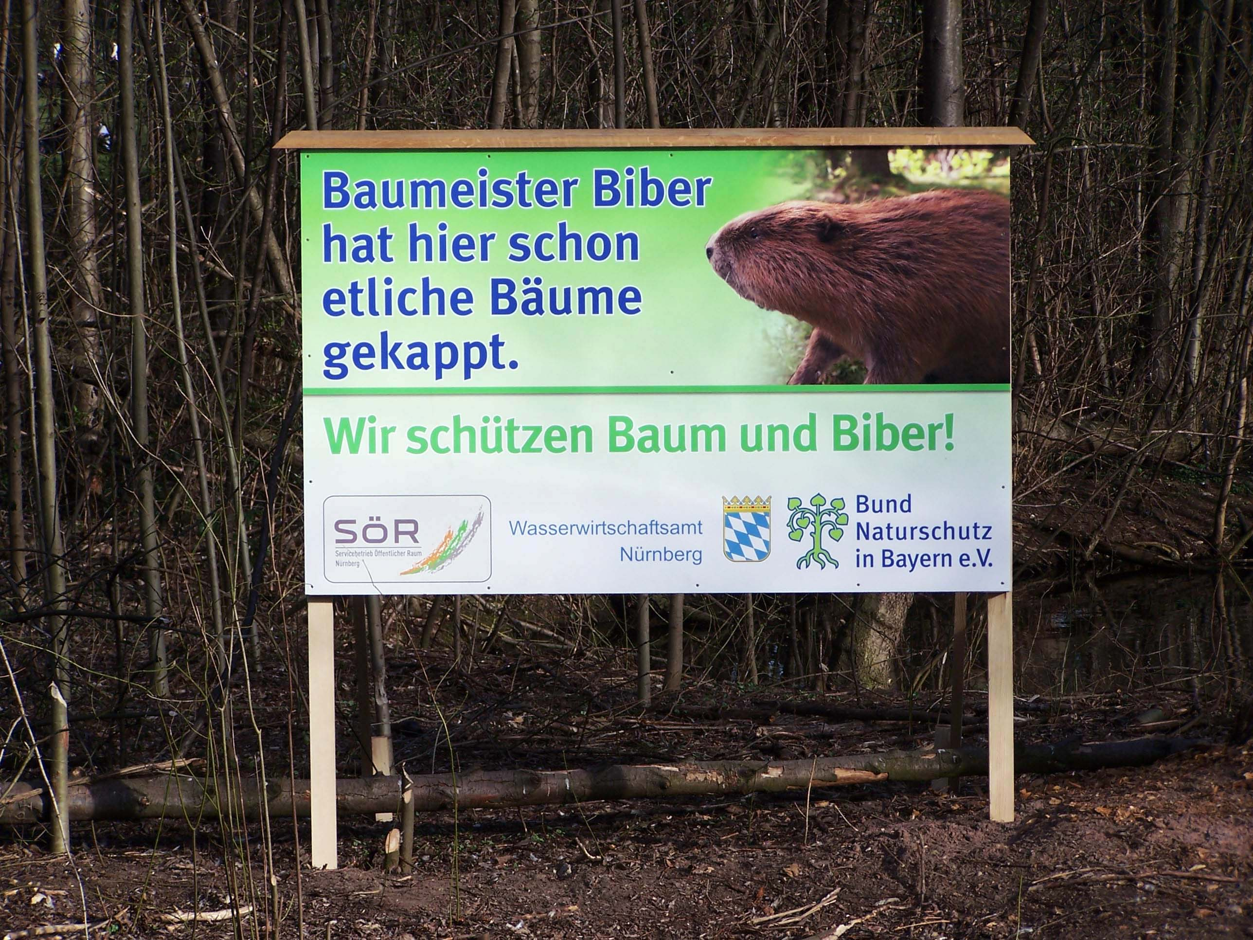 Baumeister Biber hat hier schon etliche Bäume gekappt. Wir schützen Baum und Biber. Nürnberg, Wöhrder Wiesen, Insel Schütt, März 2011