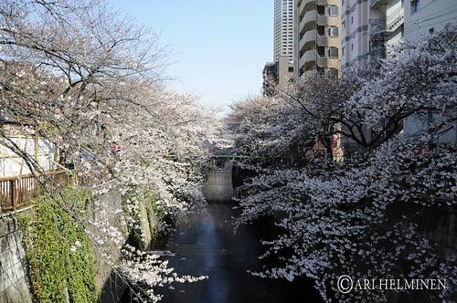 サクラ Tokyo, Japan.東京 日本。