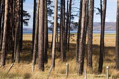 torridon trees