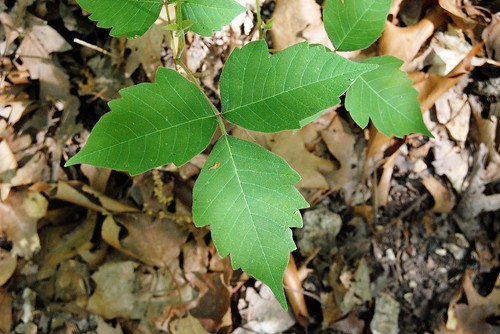 Three leaflets of Poison Ivy, Toxicodendron radicans, which grows in the Ozarks and causes rashes and misery.