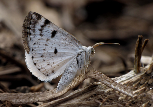 Lomographa semiclarata - Bluish Spring Moth