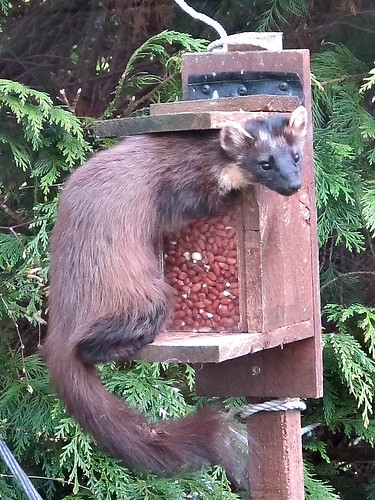 Pine marten (Martes martes) feeding on peanuts