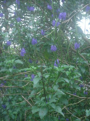 NTU紫色花3