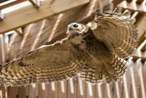 Juvenile Great Horned Owl In Flight 3