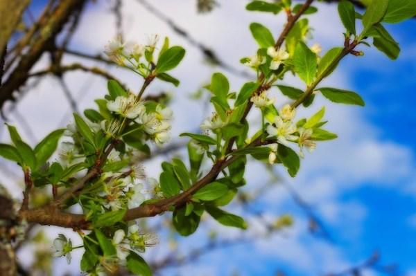 Fleurs de mirabellier