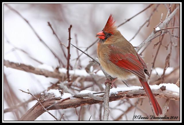 60D LavalBP07jan ,Cardinal