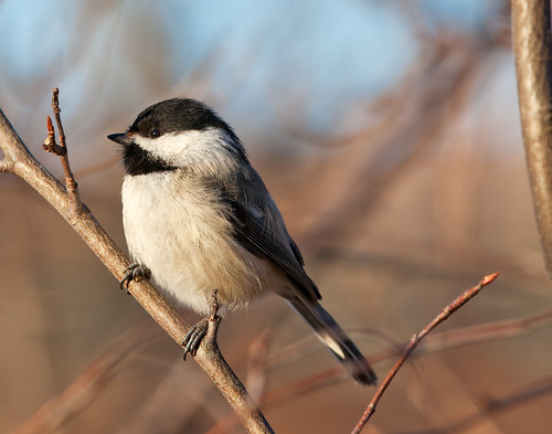 Chickadee closeup