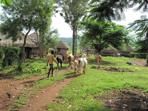 Typical mixed crop-livestock farming in western Kenya