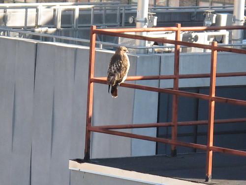 Hawk on a neighboring downtown manhattan rooftop