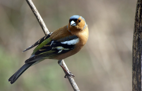 Chaffinch by Lynngerald