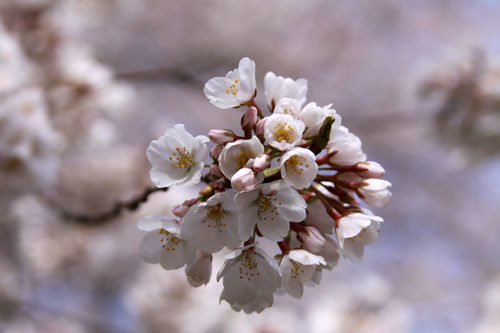 cherry blossoms: maryland