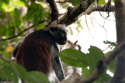 The African Red Colobus Monkey.