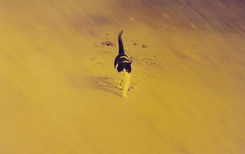 Gatto del deserto