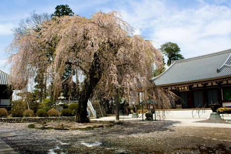 α5 The Giant Weeping Cherry of Jougan Temple