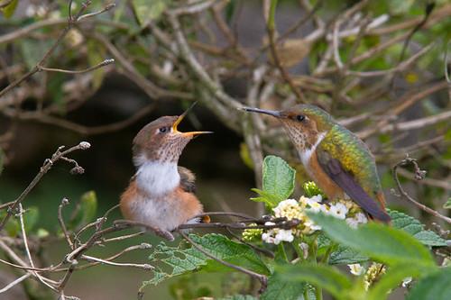 Chispita, Colibrí mosca  (Scintillant Hummingbird)