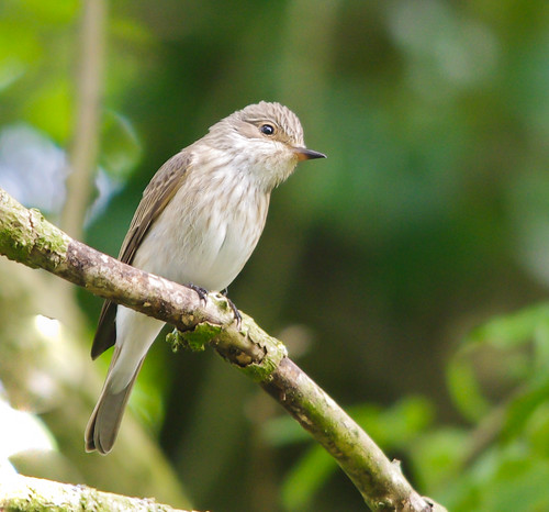 Spotted Flycatcher (Muscicapa striata) by Alistair Prentice via Flickr
