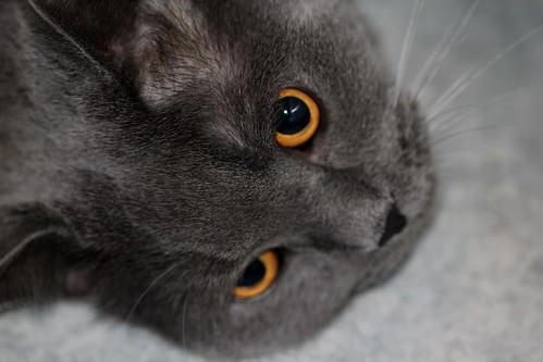 Katze / Cat Ramses por chrchr_75