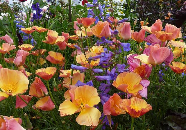 Cal Poppy 'Apricot Chiffon' & Penstemon heterophyllus