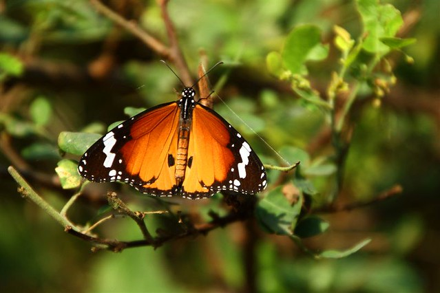 India: butterfly