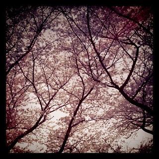 中央公園の桜其の三