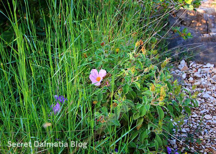 Bušin | White-rock rose (Cistus salvifolius)