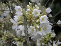 white cherry branches
