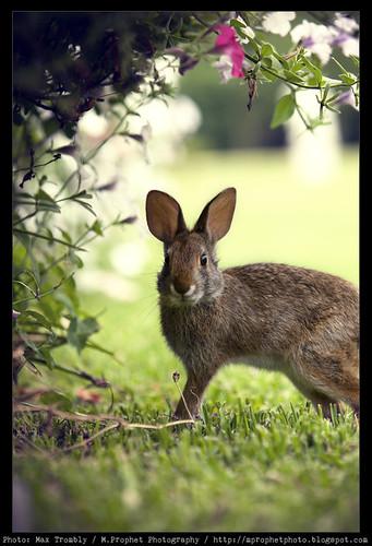 Houmas_Rabbit_03 by M.Prophet Photography