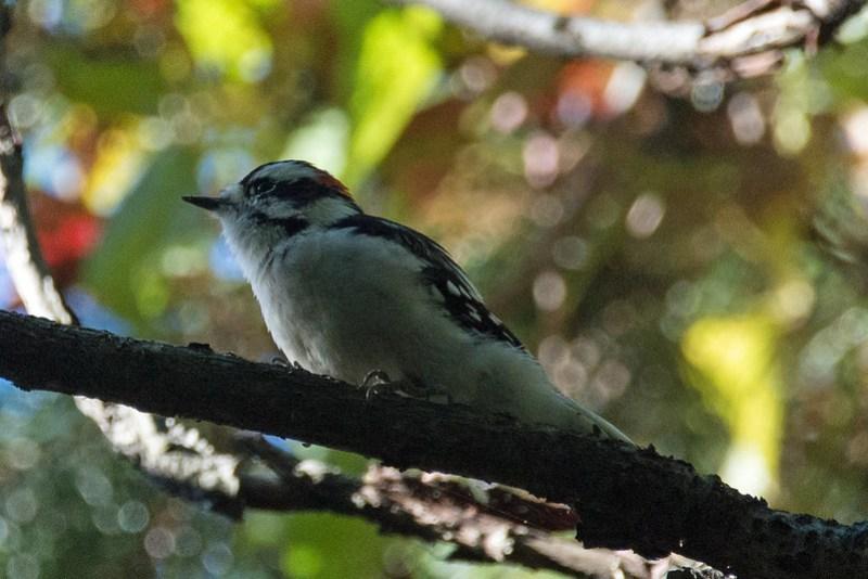 _DSC5032 Downy Woodpecker
