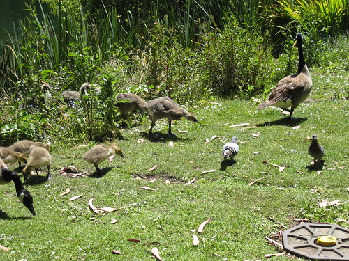 2012_05_19_f_Geese
