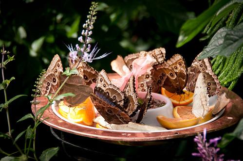 Blue Morpho butterflies eating