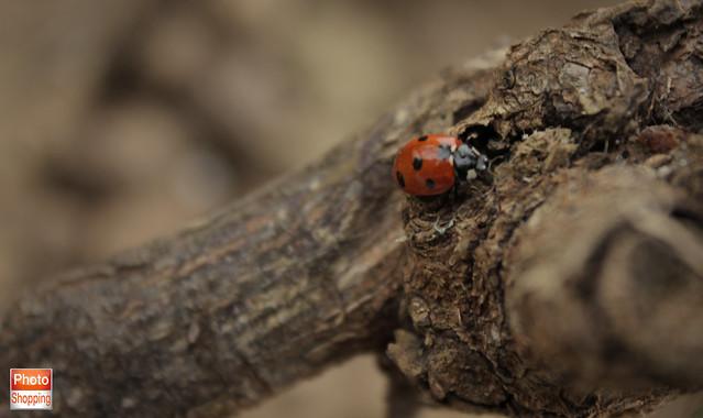 ladybird 8