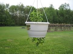 Stevia & Green Pepper Plants