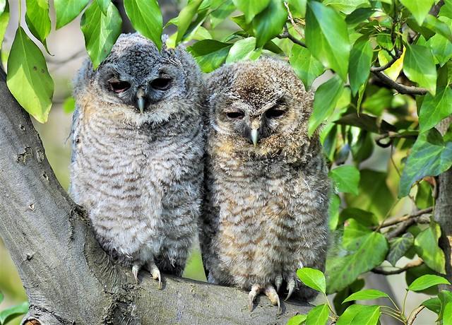 owls-f201000