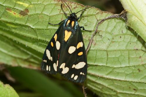 Scarlet Tiger moth (Callimorpha dominula)