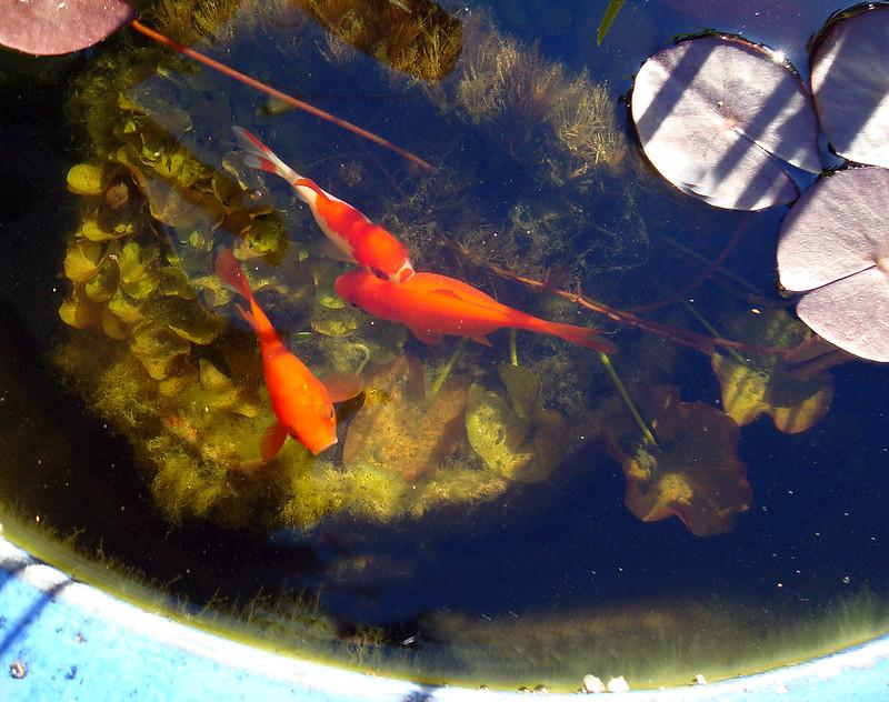 Goldfish 201204