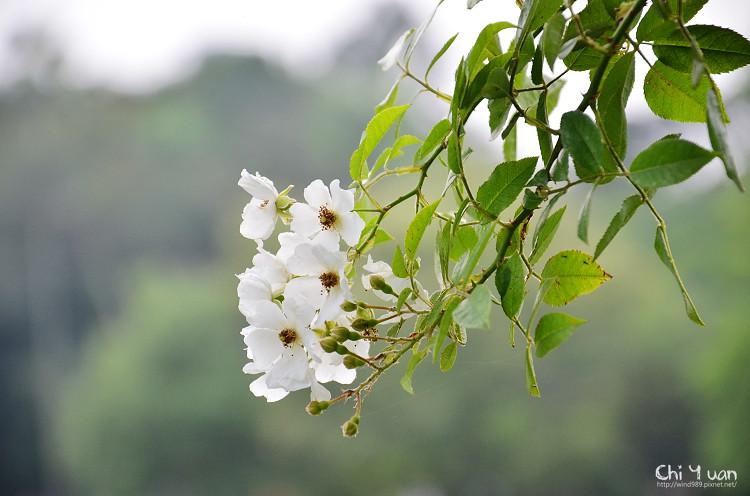 植物園野薔薇08.jpg