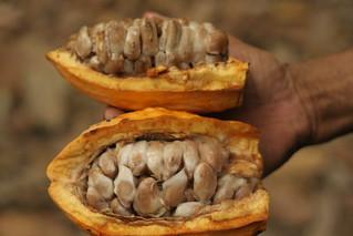 Cacao pods - Foto por Rob Goodier