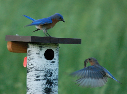 Bluebird Monitoring by Goyo P