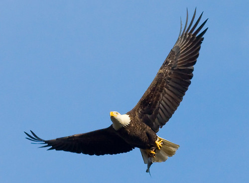 Bald eagle holding a fish in its talons at John Heinz National Wildlife Refuge
