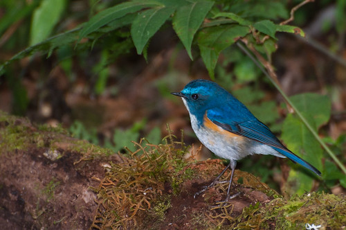 A male Red-flanked Bluetail on Doi Inthanon in Thailand.