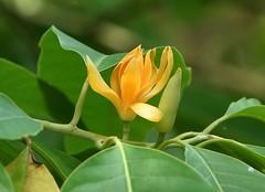 Champaca: GOLDEN  #3  (Bengali = স্বর্ণ চাঁপা)