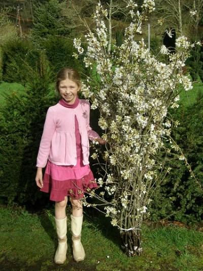 white cherry branches &