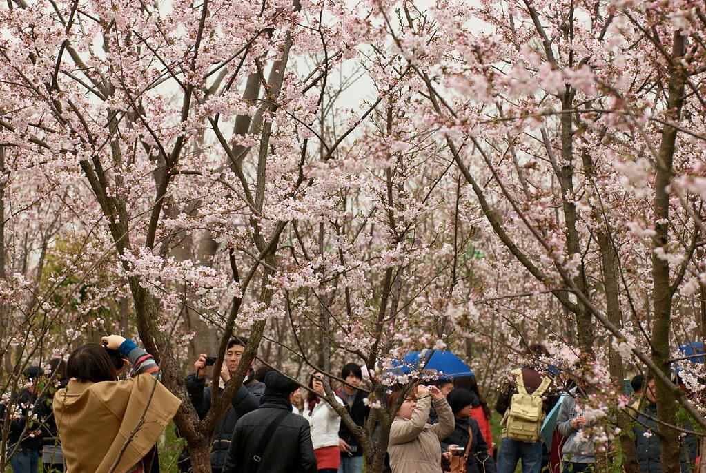 Cherry blossom festival!!!!