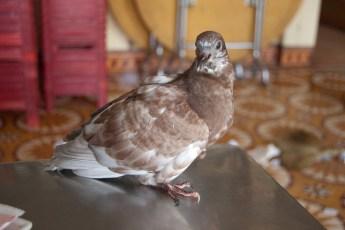 Verletzte Taube