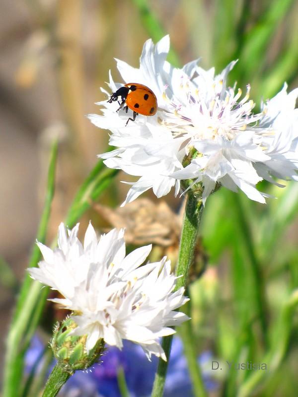 A Seven-Spotted Ladybug