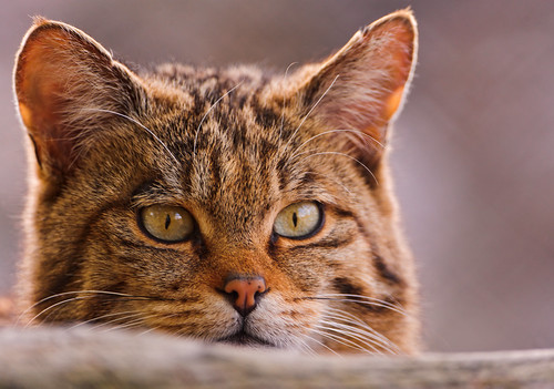 Wild cat peeking over