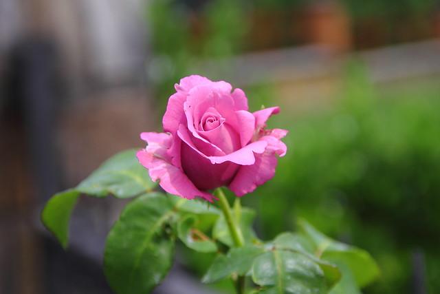 Rosa Violeta #Flickr  #Photography  #Foto 14
